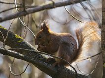 The red squirrel eats a nut. stock photo