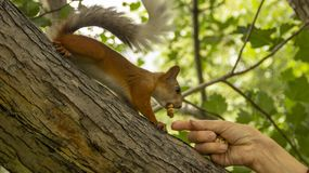 Red squirrel eats nuts from a person`s hands. royalty free stock photography