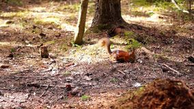 Red squirrel eats stock video