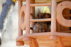 Red squirrel. Eats a seed in a feeder royalty free stock photo