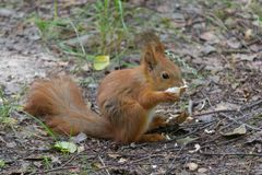 Red squirrel eats a treat in the park stock photos