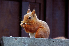 Red Squirrel, eekhoorn Stock Images
