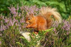 Red Squirrel in English countrside. Lovely time of year to see a red squirrel with all the heather in bloom Royalty Free Stock Image