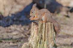 Red squirrel. A red squirrel enjoying a nut in the forest stock photography