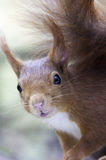 Red Squirrel. Eurasian Red Squirrel close-up Stock Photography