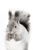 The red squirrel or Eurasian red sguirrel Sciurus vulgaris sit. Ting on the snow stock photography
