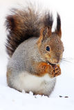 The red squirrel or Eurasian red sguirrel (Sciurus vulgaris) sit. Ting on the snow stock photo