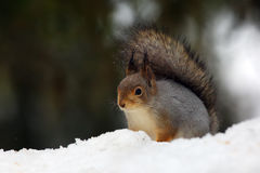 The red squirrel or Eurasian red sguirrel (Sciurus vulgaris) sit. Ting on the snow stock images