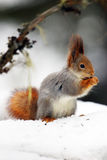 The red squirrel or Eurasian red sguirrel Sciurus vulgaris sit. Ting on the snow stock images