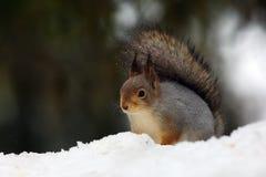 The red squirrel or Eurasian red sguirrel & x28;Sciurus vulgaris& x29; sit Stock Images