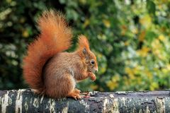 The red squirrel or Eurasian red squirrel. Is a species of tree squirrel in the genus Sciurus common throughout Eurasia. The red squirrel is an arboreal Stock Images