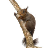 Red squirrel or Eurasian red squirrel, Sciurus vulgaris, climbing Royalty Free Stock Images