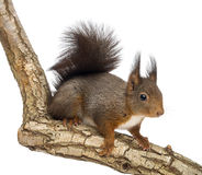 Red squirrel or Eurasian red squirrel, Sciurus vulgaris, standing Royalty Free Stock Photography