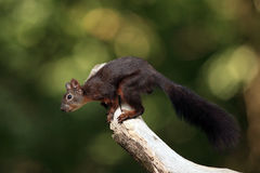 Red squirrel. The red squirrel or Eurasian red squirrel Sciurus vulgaris on the branch with green background Stock Image