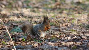 Red squirrel or Eurasian red squirrel /Sciurus vulgaris/ eats something while sitting on the ground.  stock video