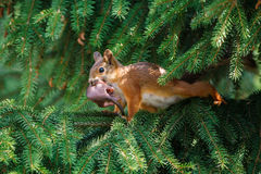 Red squirrel. Eurasian red squirrel (Sciurus vulgaris) mother moving its litter from a garden spruce to another nest site Royalty Free Stock Photography