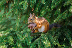 Red squirrel. Eurasian red squirrel (Sciurus vulgaris) mother wrapping its baby for moving from a garden spruce to another nest site Stock Image