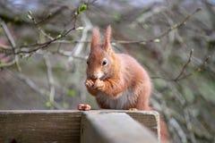 The Red Squirrel or Sciurus vulgaris stock photo