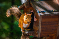 The red squirrel stock images