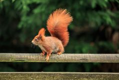 The red squirrel or Eurasian red squirrel. Is a species of tree squirrel in the genus Sciurus common throughout Eurasia. The red squirrel is an arboreal Stock Photography