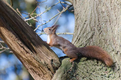 Red squirrel. Eurasian Red Squirrel spotted in the forest royalty free stock images
