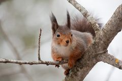 Red squirrel. A european red squirrel in a tree Stock Photo