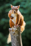 Red Squirrel eyeballing. Perched on top of tree stump this red squirrel thinks he's in a eyeballing competition Royalty Free Stock Photo