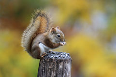 Red Squirrel in Fall stock photography