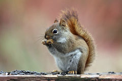 Red Squirrel in Fall royalty free stock photos