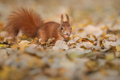 Red squirrel in fallen leaves Royalty Free Stock Image