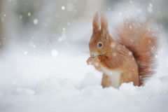 Red squirrel in falling snow