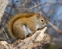 Red squirrel fauxhawk Stock Images