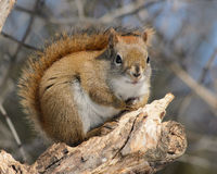 Red Squirrel with Fauxhawk Royalty Free Stock Photos