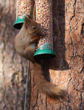 Red Squirrel on feeder Royalty Free Stock Image