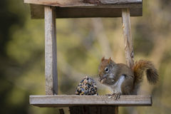 Red Squirrel at Feeder Stock Photo