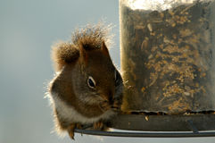Red Squirrel Feeding. A hungry red squirrel stops by the bird feeder early one morning for breakfast Stock Image