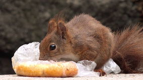 Red Squirrel Feeding with Fast Food Leftovers stock video footage