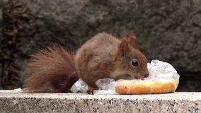 Red Squirrel Feeding with Fast Food Leftovers stock video