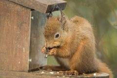 Red squirrel feeding on feeder eating seeds with winter ear tufts stock photos