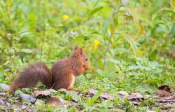 Red Squirrel feeding on the ground royalty free stock photos