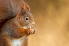 Red squirrel in Bavaria Royalty Free Stock Photography