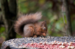 Red Squirrel at a feeding station Stock Photo