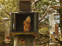Red squirrel at Feeding Station Stock Images