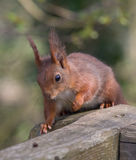 Red squirrel on fence posts. Royalty Free Stock Images