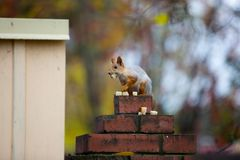 Siberian squirrel on the fence Royalty Free Stock Photography