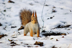 Red squirrel first snow. Red squirrel running on the ground first snow Royalty Free Stock Images