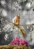 Red squirrel with flower branches and a Bergenia. Red squirrel with flower branches and an Bergenia Stock Photos