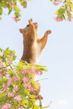 Red squirrel with flowers reaching out Stock Photos
