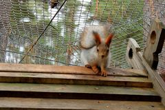 Red squirrel sitting in the cage stock images