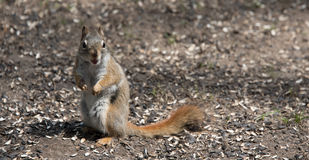 A Red squirrel follows me around where he lives in the woods near a cottage. Mr. Red squirrel follows me around where he lives in the woods near a cottage Stock Photography